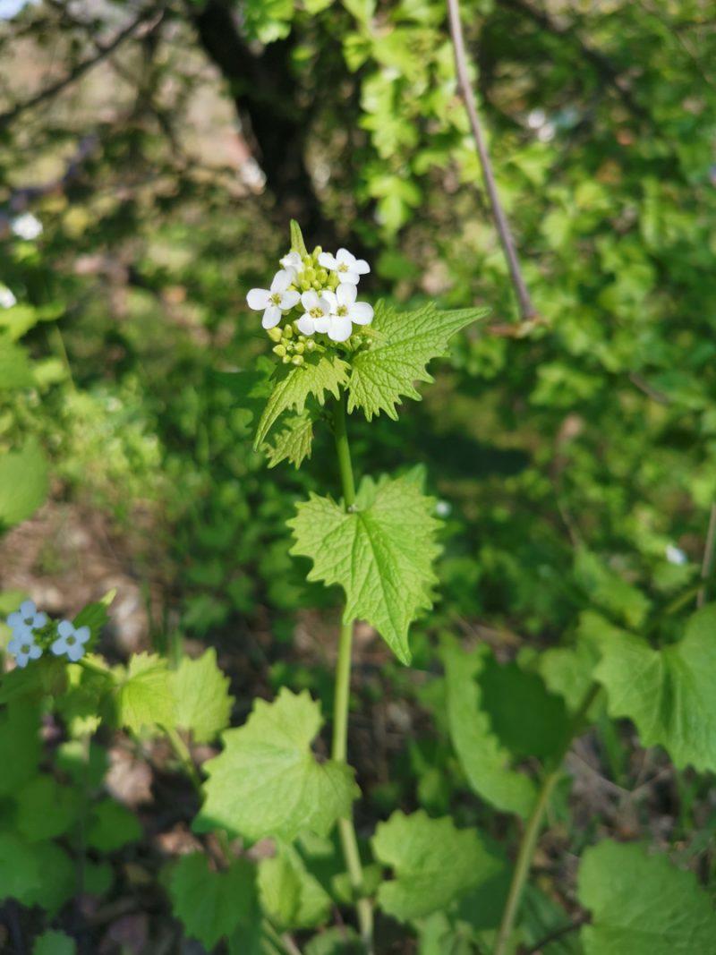 kraeuterwanderung-sammeln-knoblauchpflanze